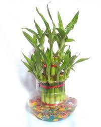 Lucky three layer Bamboo plants (code:140)